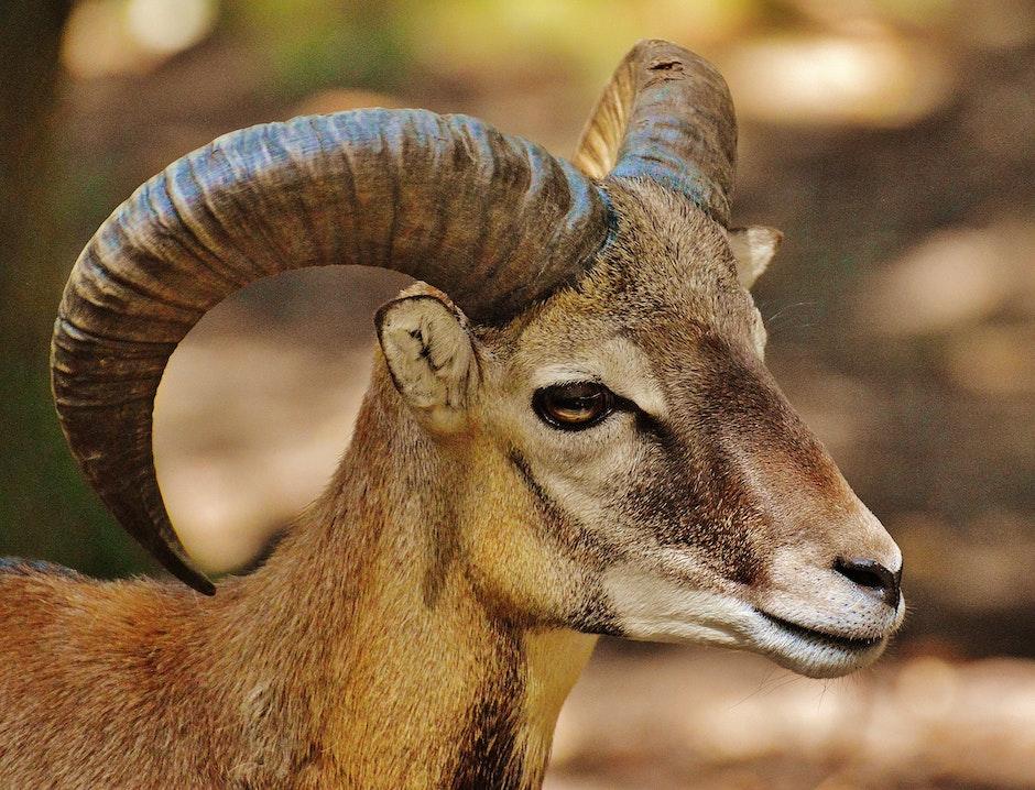 Brown Ram Goat