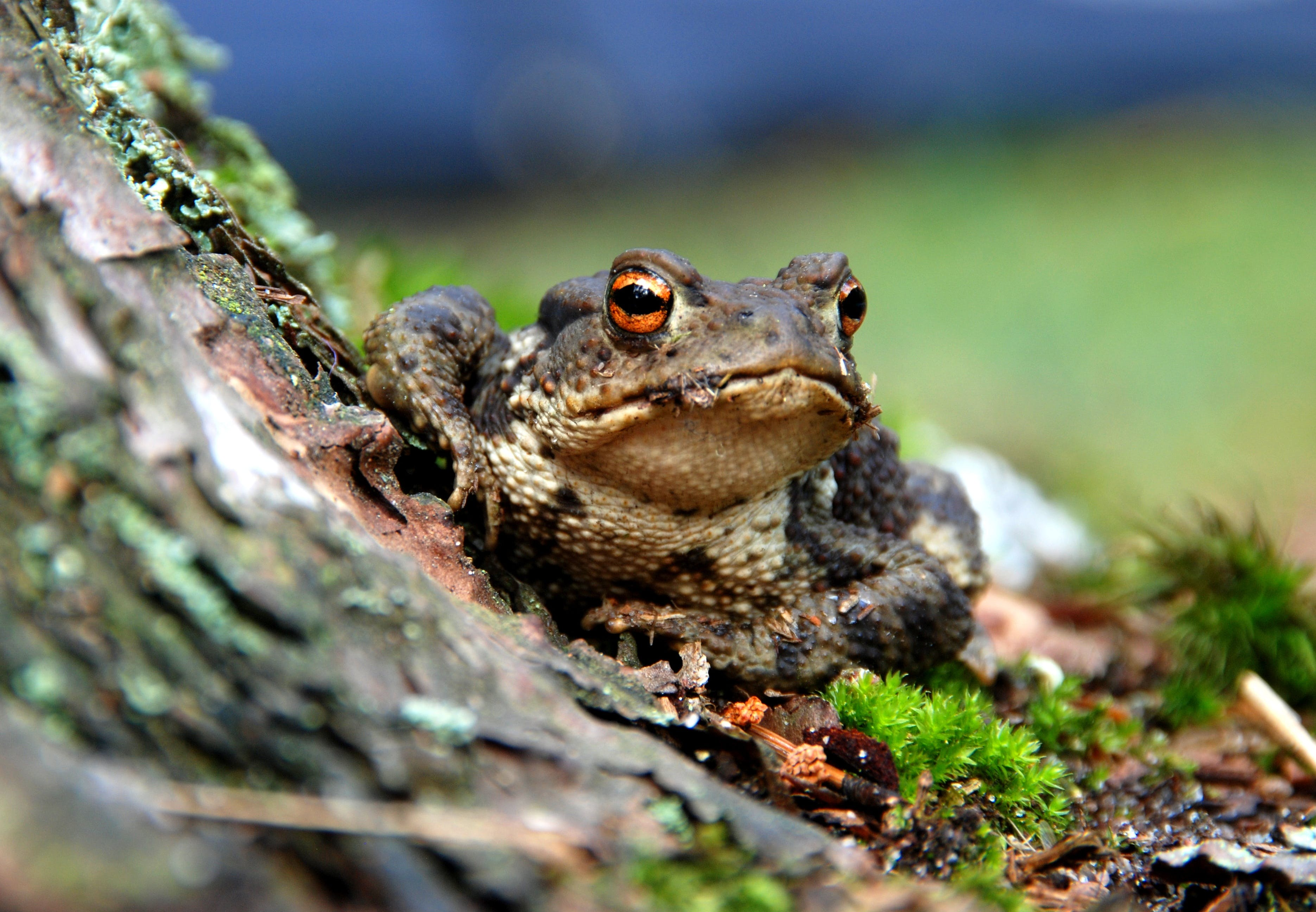 Selective Focus Photography of a Brown and Black Frog