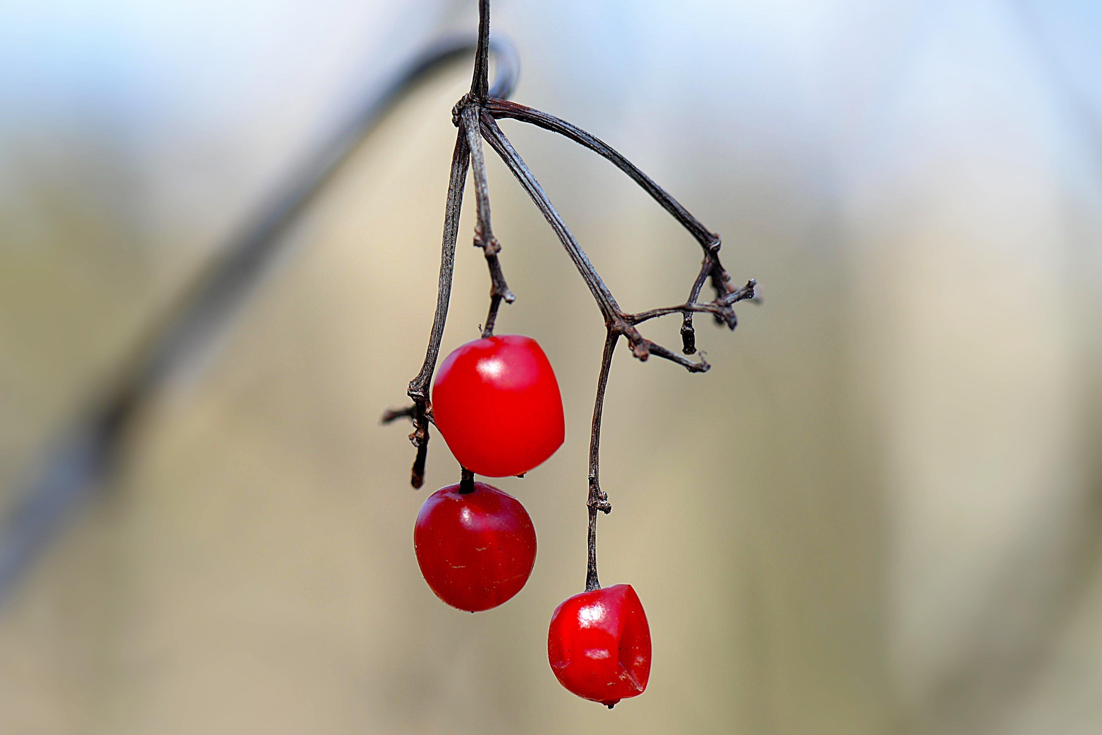 Free stock photo of autumn, berry red, honeysuckle, shrub plant