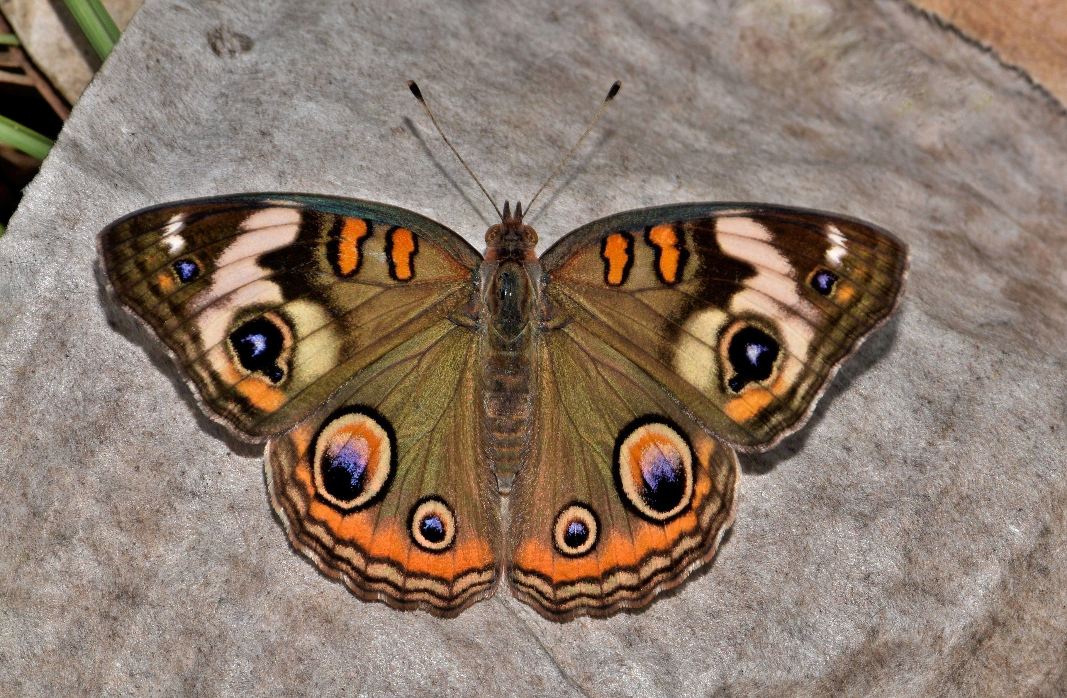bogár, közelkép, pillangó