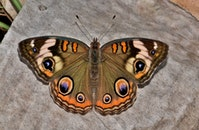 insect, butterfly, wings