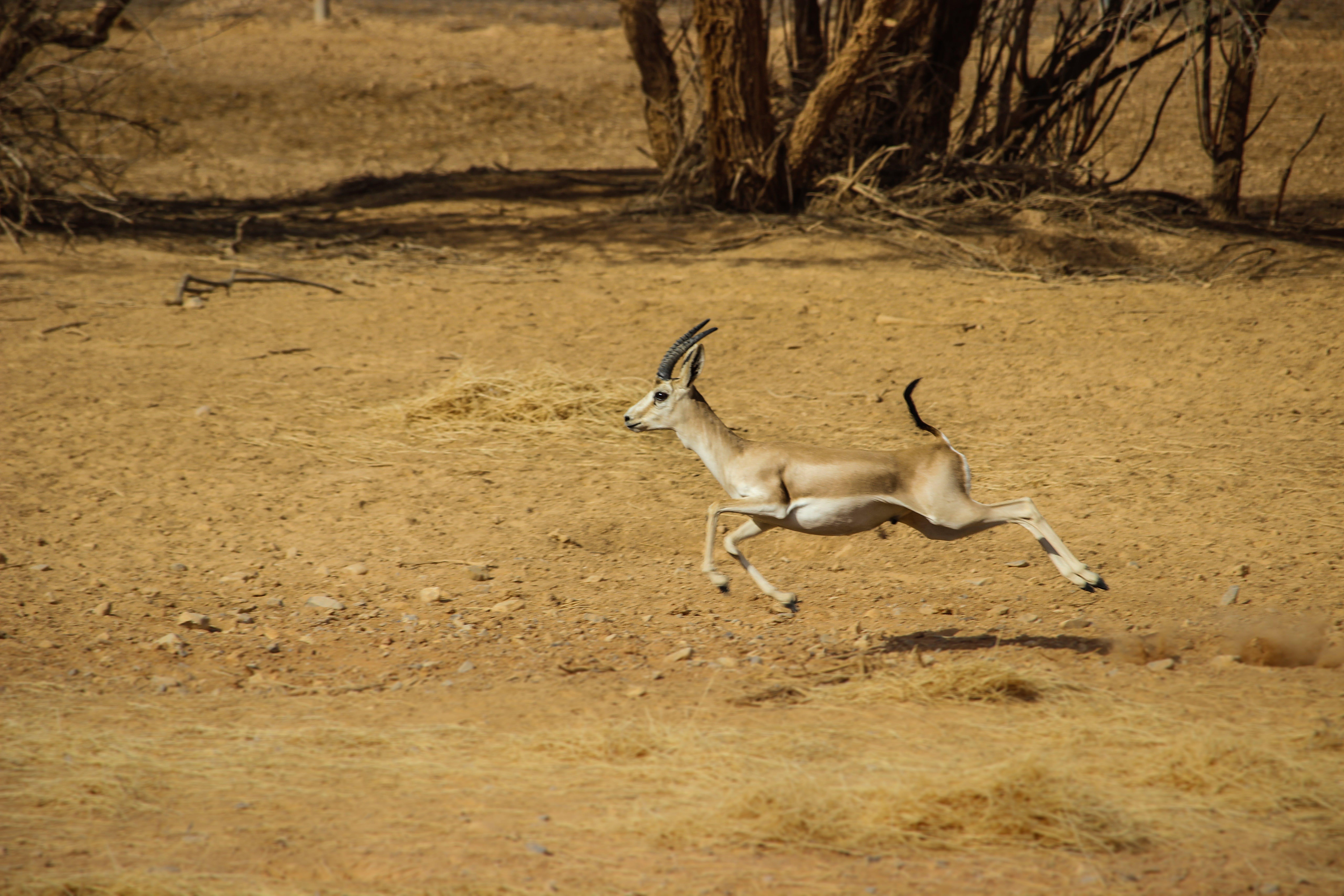 Free stock photo of animal, animal farming, Animal Kingdom, gazelle
