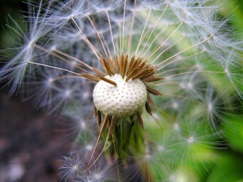 Fotos de stock gratuitas de aterciopelado, bonito, cabeza de semilla, campo