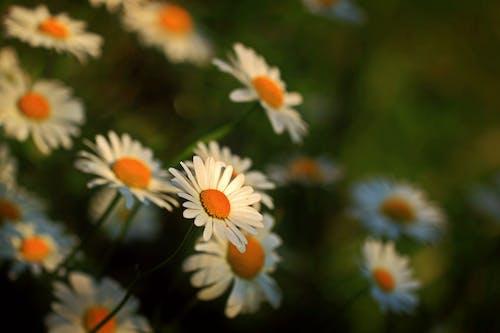 Bahçe, beyaz papatyalar, bitki örtüsü, bulanıklık içeren Ücretsiz stok fotoğraf