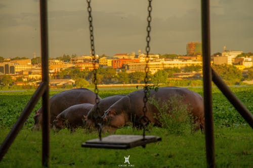 #kisumu #wildlife #hippo #nature 的 免费素材照片