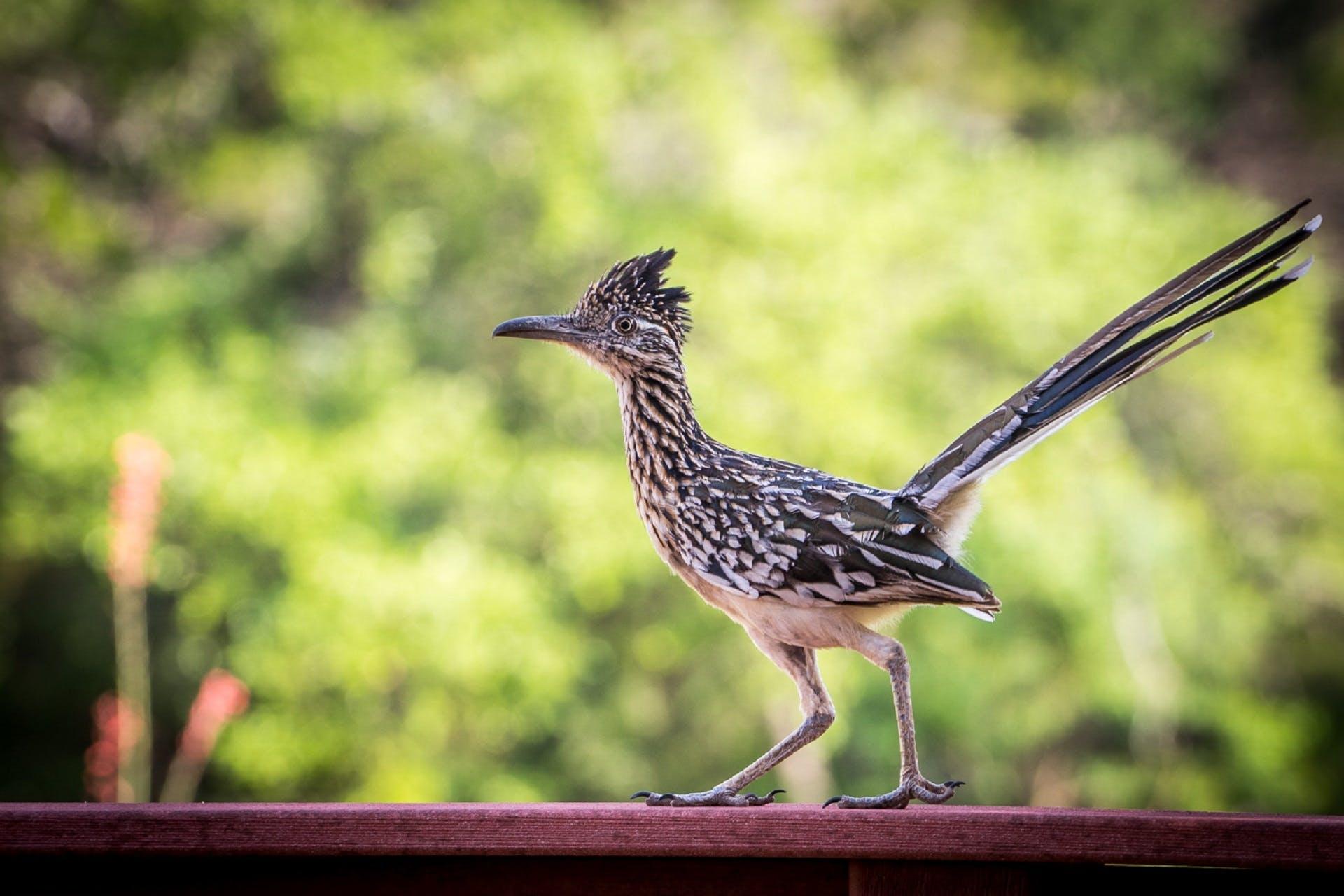 Kostenloses Stock Foto zu chaparral hahn, chaparral vogel, federn, kuckuck