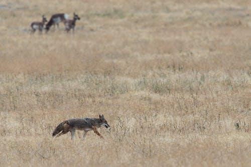 Kostnadsfri bild av antilop, asätare, däggdjur, dagsljus