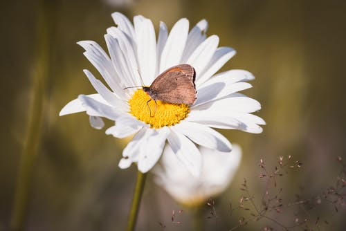 Brown Butterfly on White Daisy