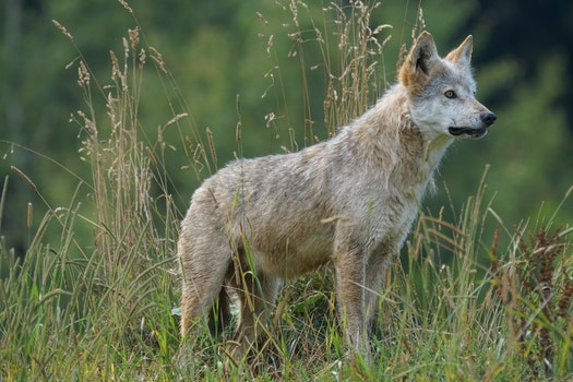 Gray and White Wolf on Grass Field Looking during Daytime