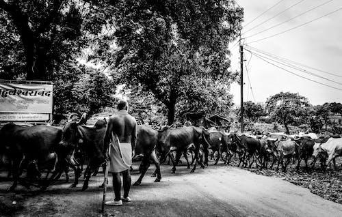 Základová fotografie zdarma na téma černobílá, kovboj, kráva, přeplněný