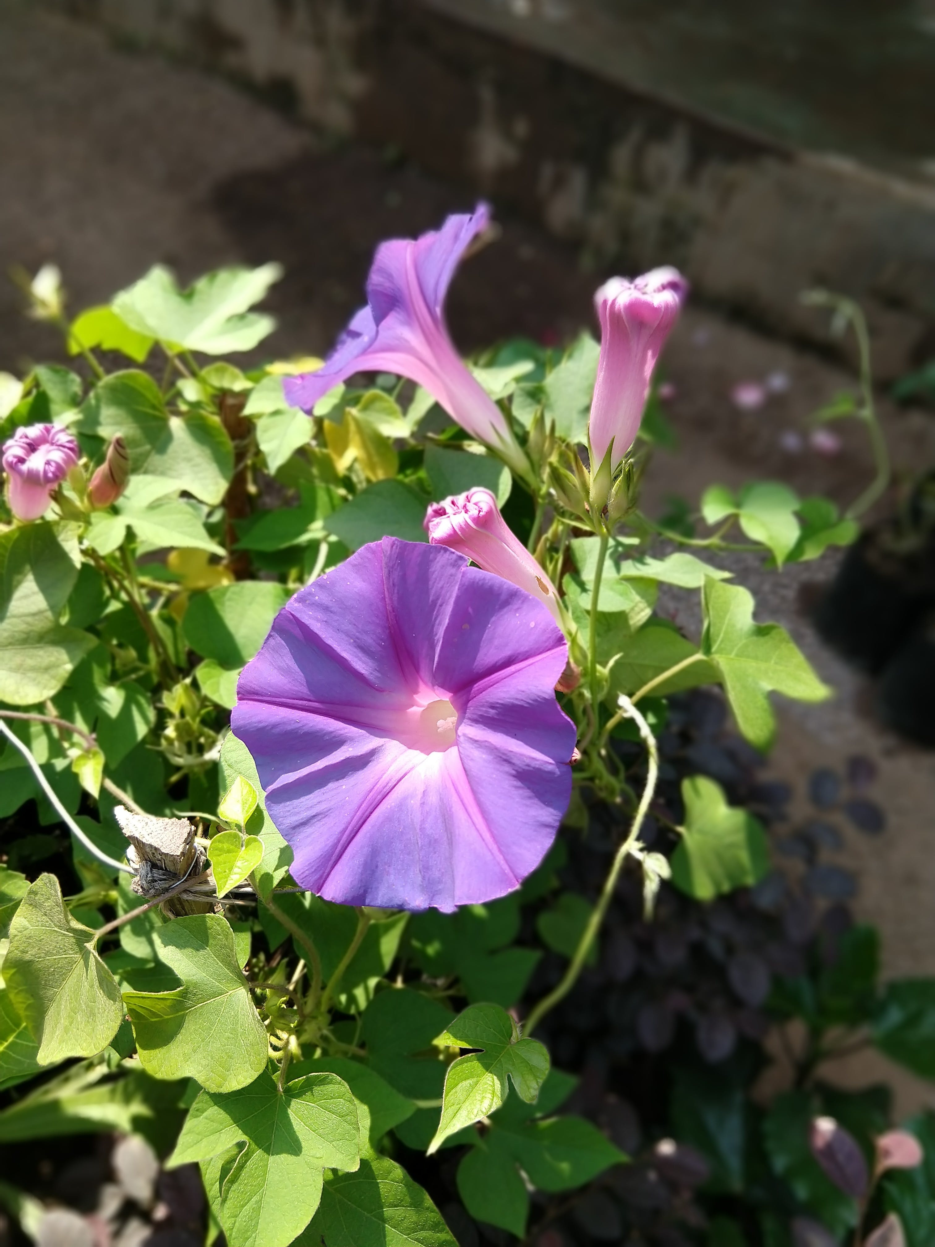 Free stock photo of violet flower