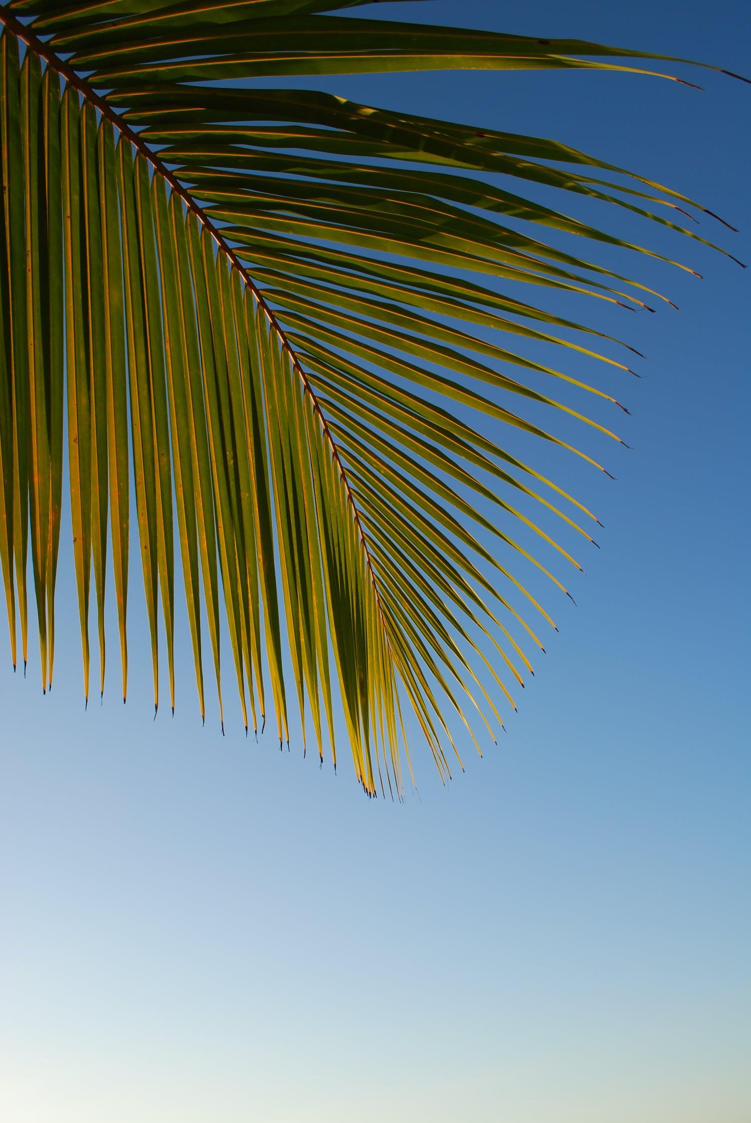 棕榈树的样子 棕榈树叶子图片