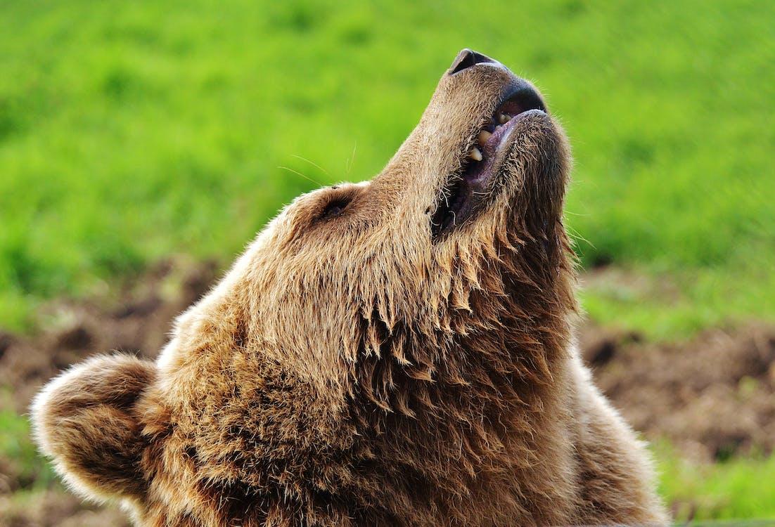 grizzly αρκούδα, άγρια φύση, άγριο ζώο