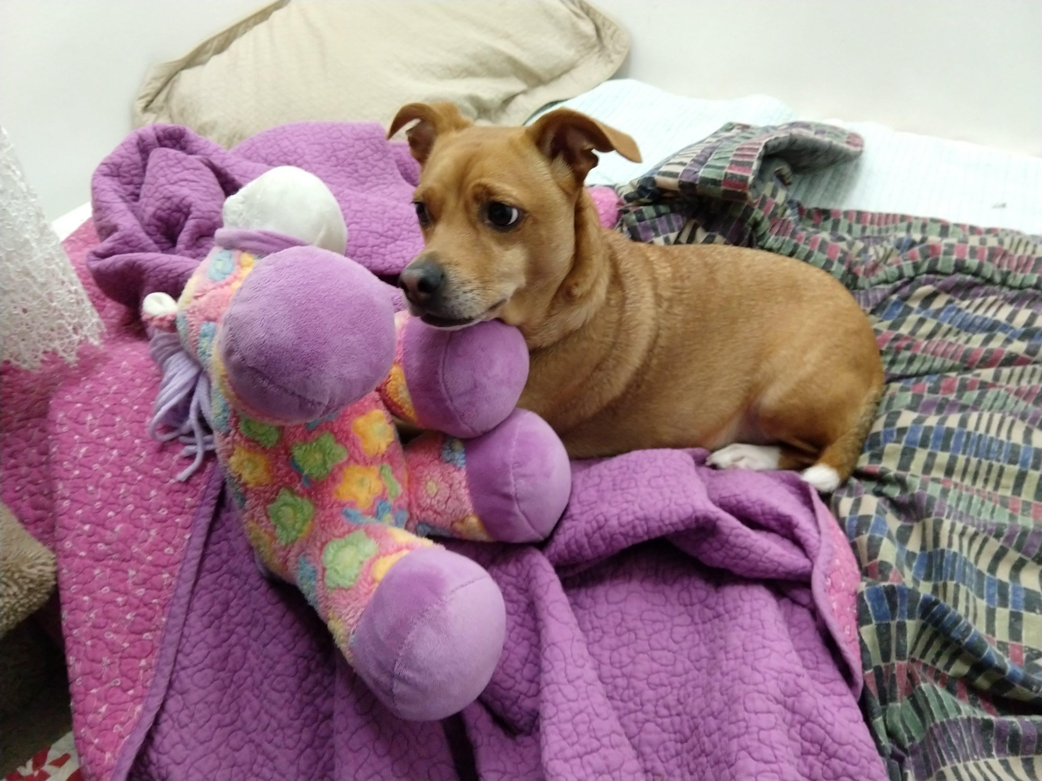 Free stock photo of Cojack, dog, purple toy