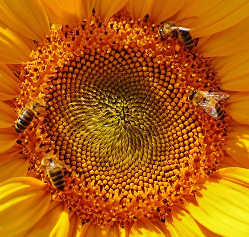 Close Up Macro Photography Yellow Sunflower Pollen With Bees Collecting Nectar