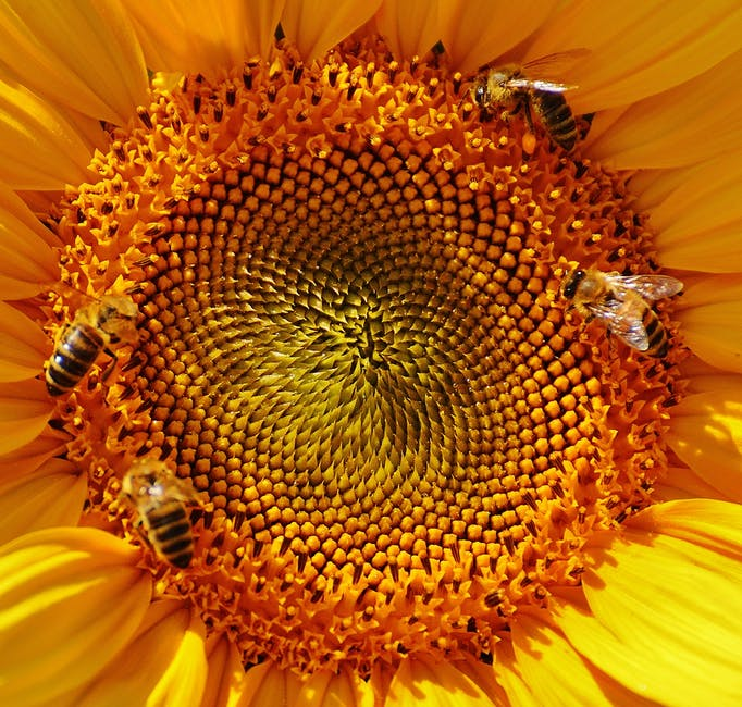 Close Up Macro Photography Yellow Sunflower Pollen With