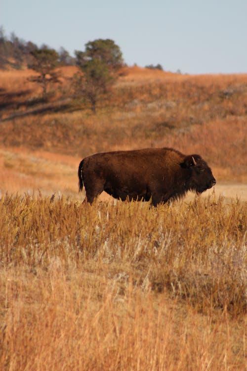 Photos gratuites de animal, bison, clairière, hayfield
