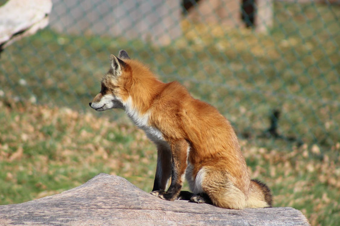Side view young red fox sitting on dry tree trunk and looking away in sunny sanctuary