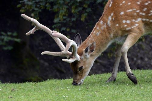 Gratis lagerfoto af buk, close-up, dyr, dyrefotografering