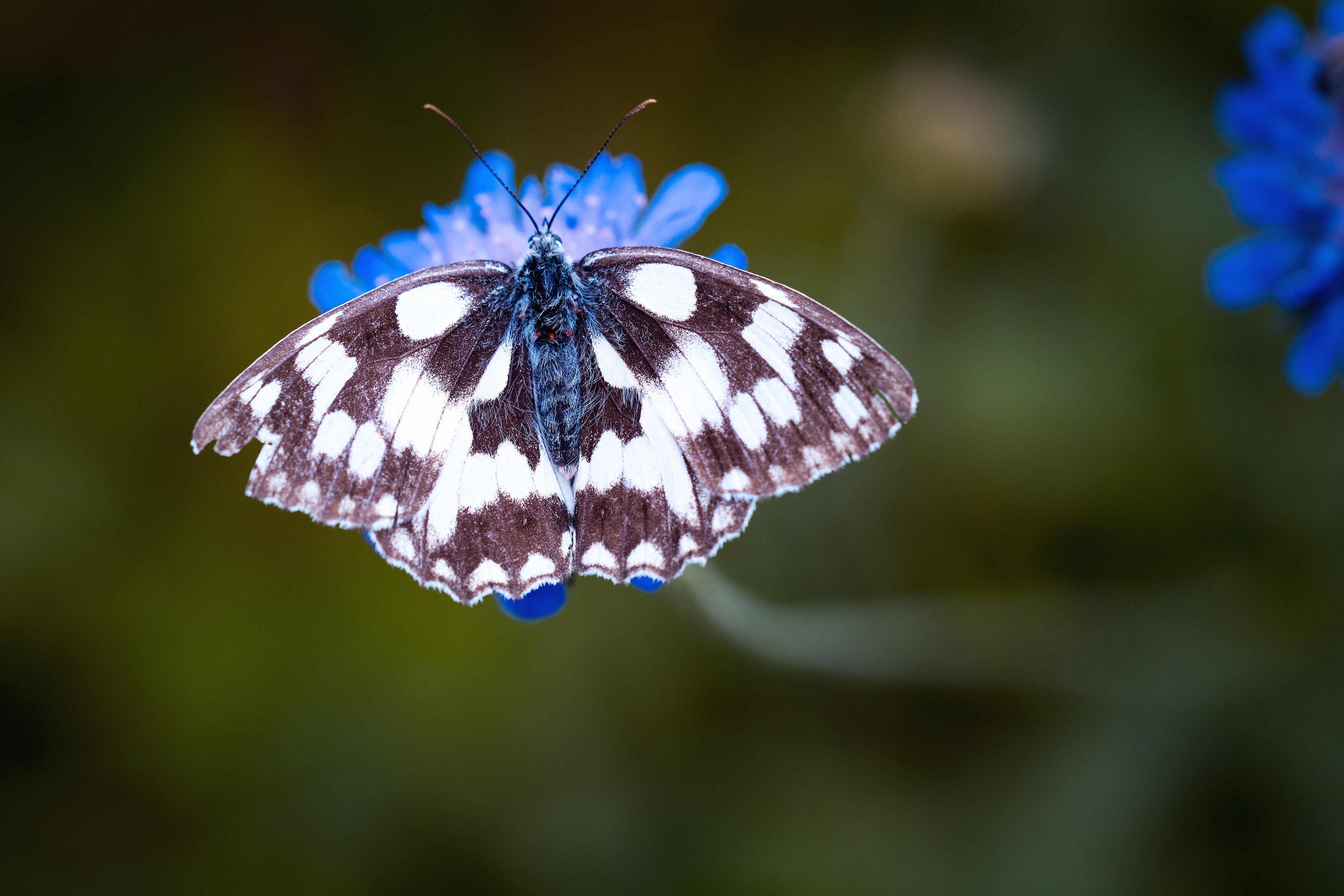Magpie Moth Perched on Blue Flower in Tilt Shift Lens