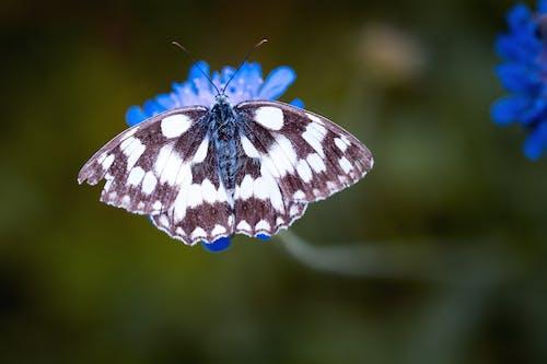 Magpie Moth Arroccato Su Un Fiore Blu In Tilt Shift Lens