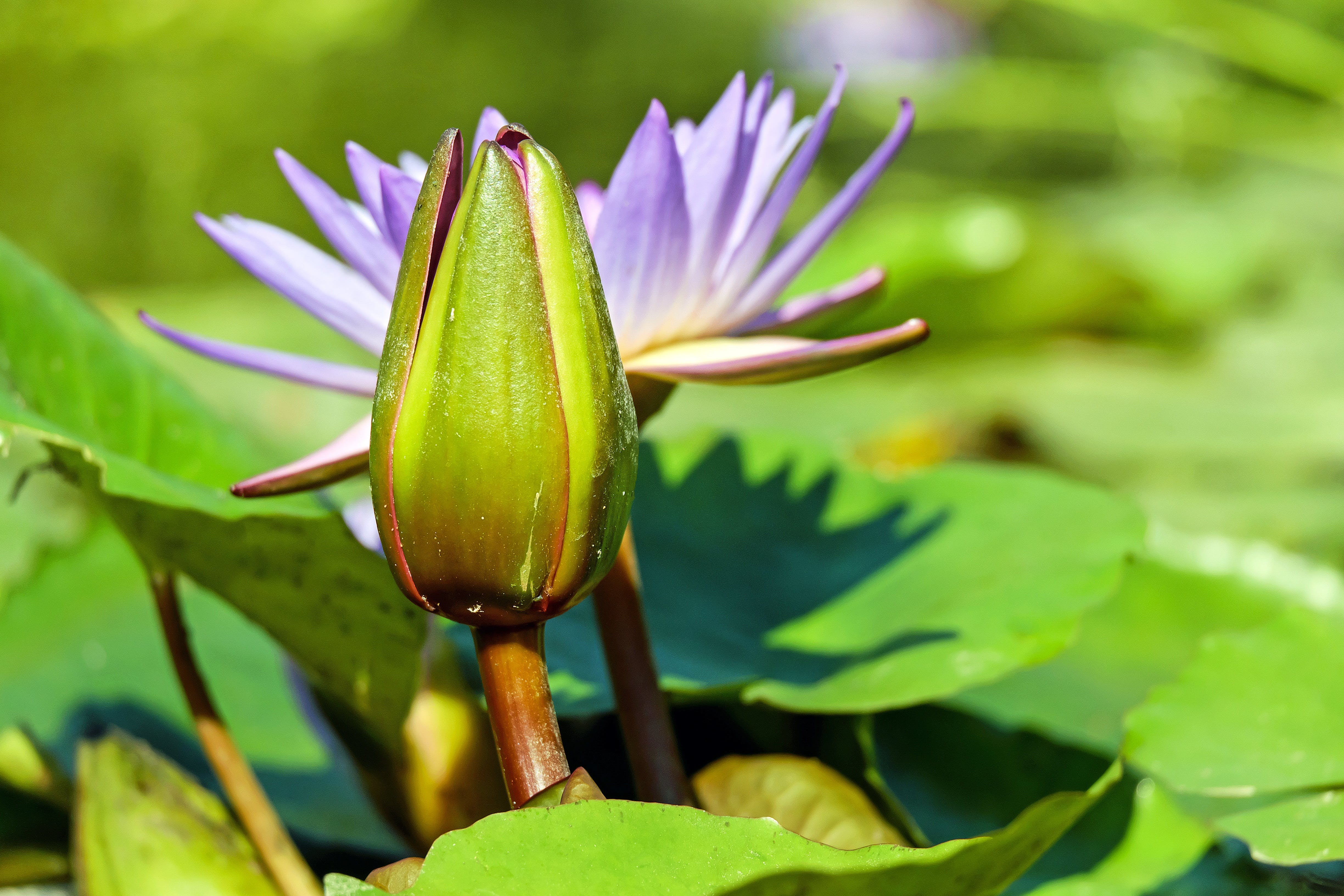 Free stock photo of nature, pond, green, water lily