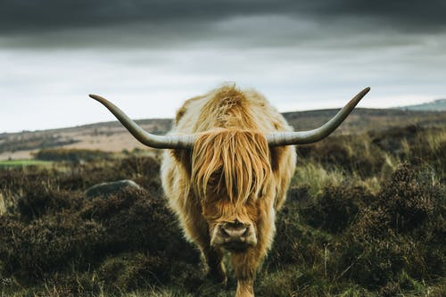 Immagine gratuita di animale, campagna, campo, corni