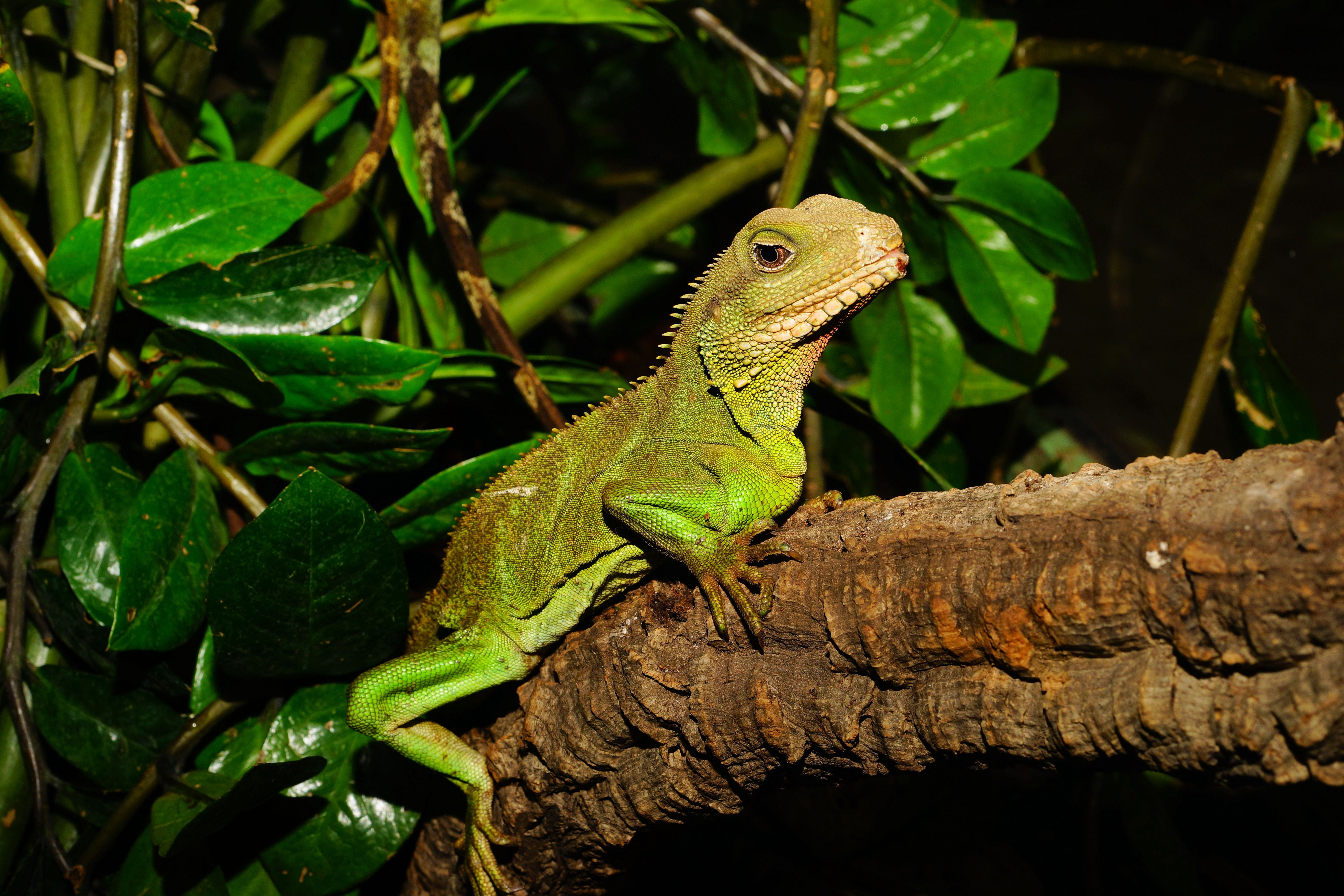 Green Lizard on Brown Tree Branch Beside Green Leaves