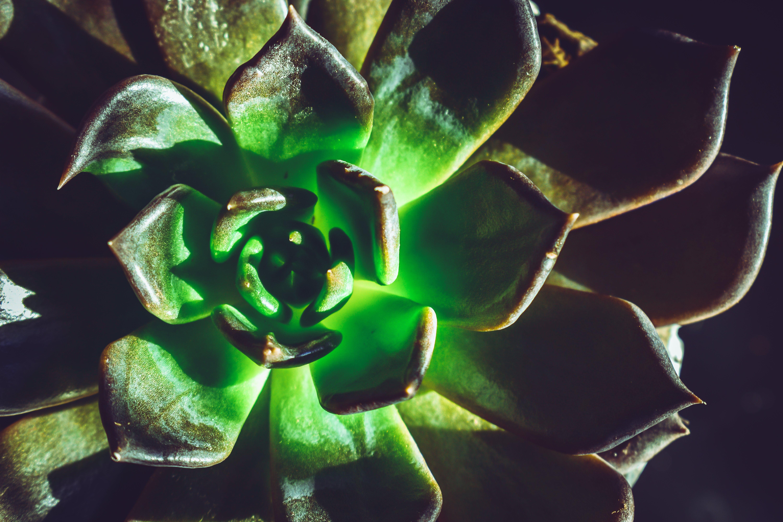 Close-Up Photo of Echeveria Plant