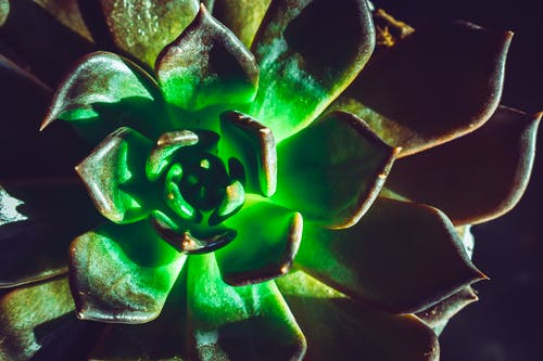 Close-Up Photo of Echeveria Plant