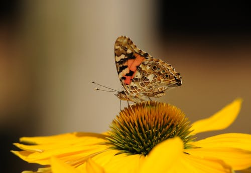 Brown and Black Butterfly on Top of Yellow Sunflower on Macro Lens