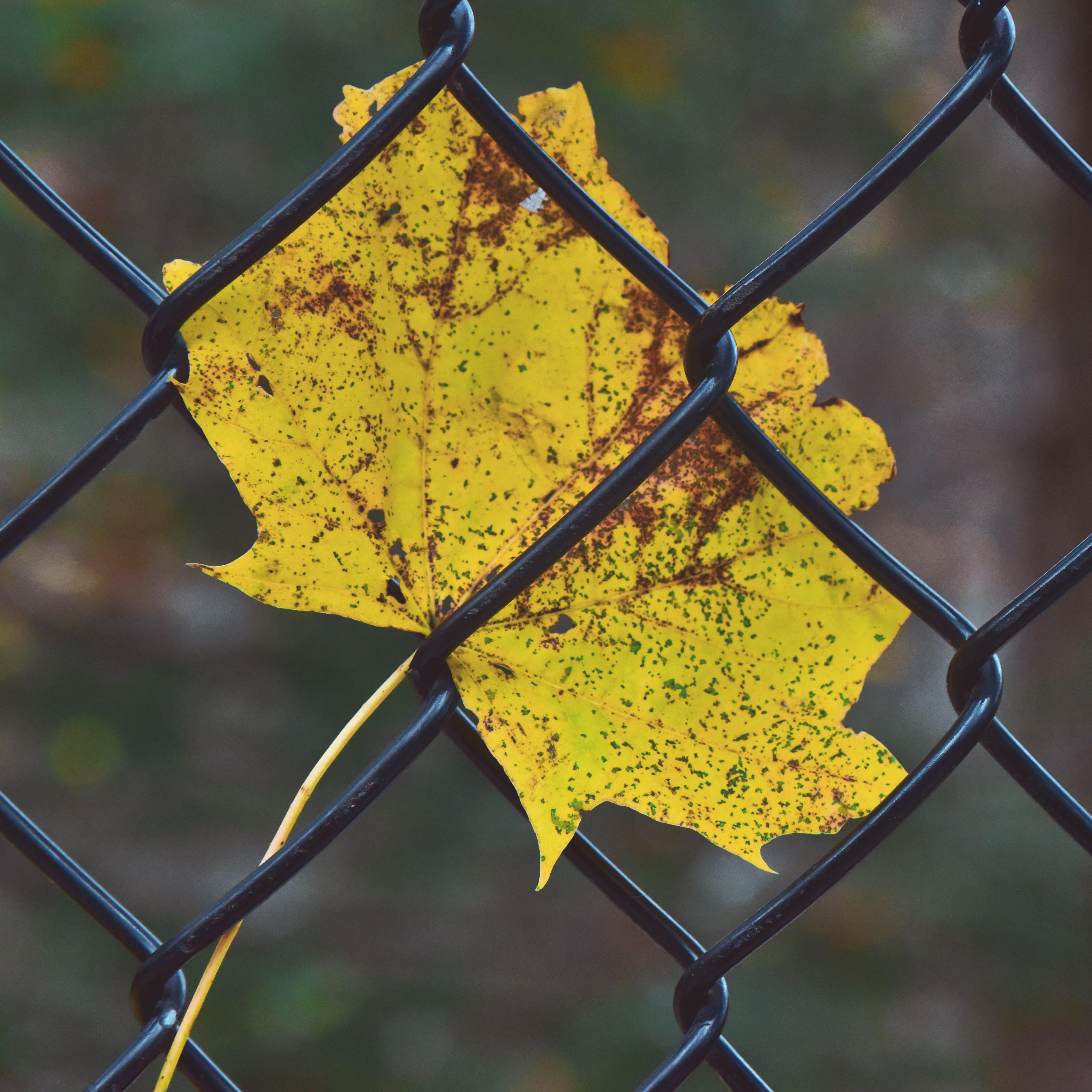Selective Focus Photography of Yellow Leaf on Fence