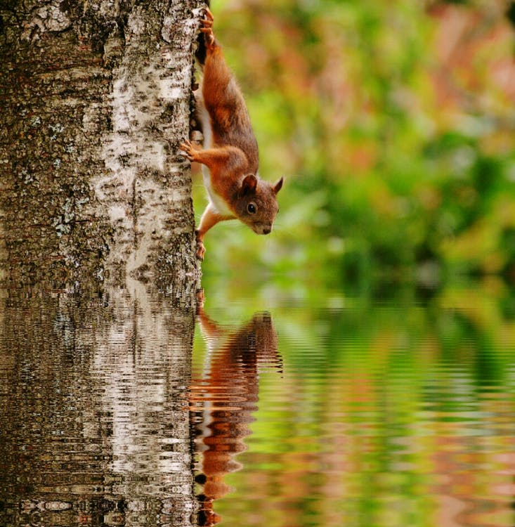 Brown Squirrel on Tree Looking at Reflection on Body of Water