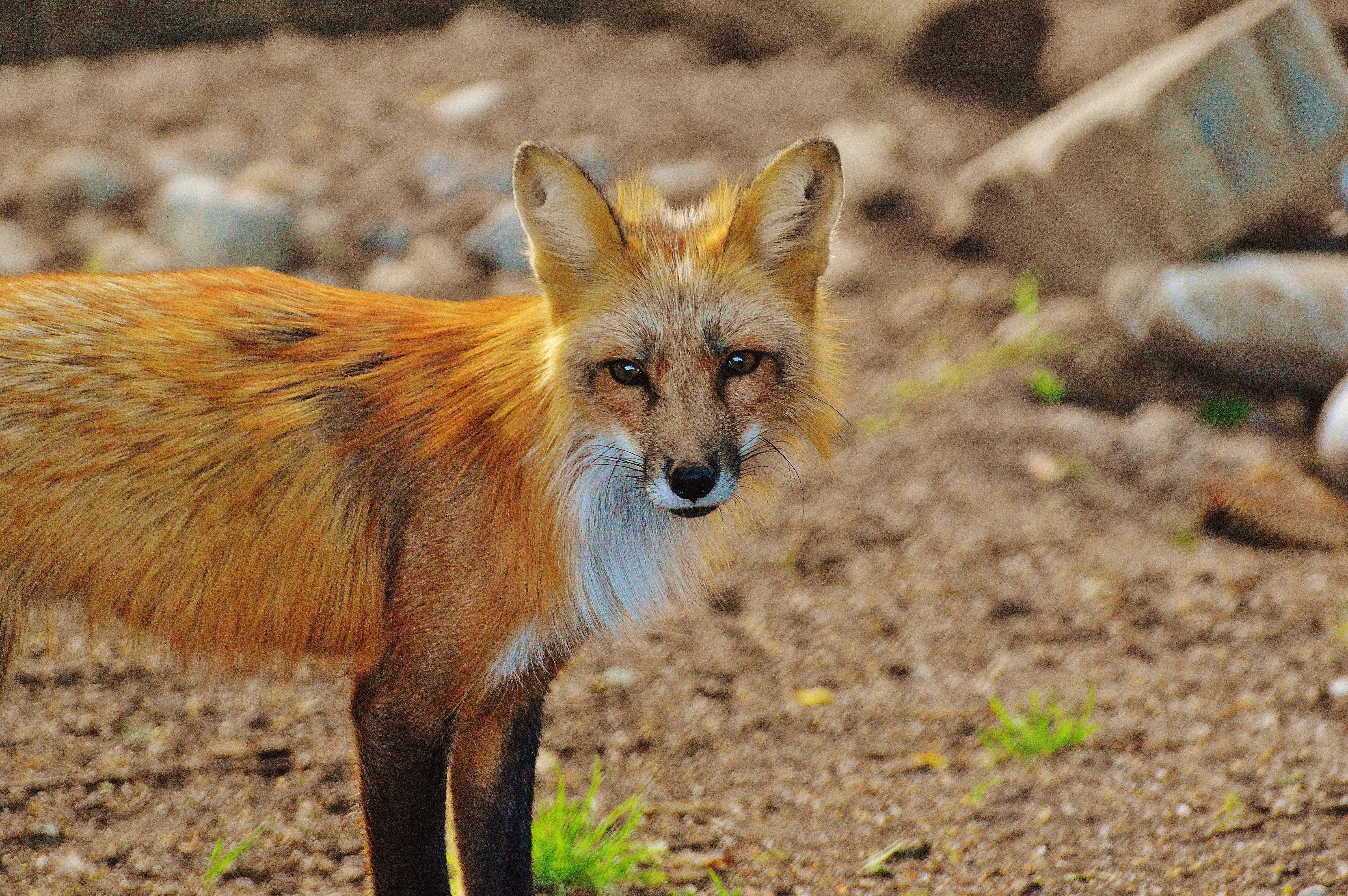 Základová fotografie zdarma na téma divoké zvíře, fotografování zvířat, kameny, kožešina