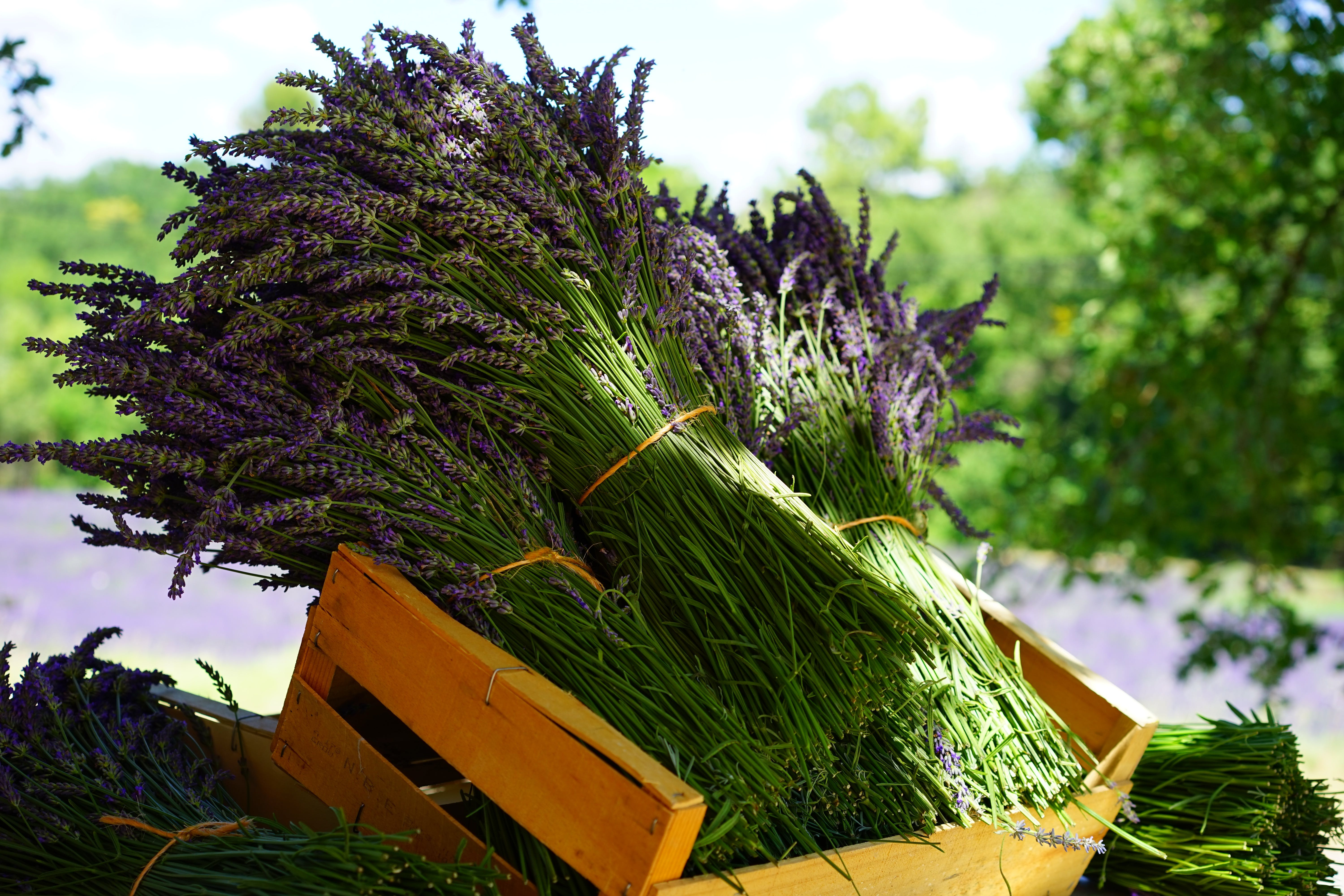 Piles of Lavander Flowers in Wooden Crate