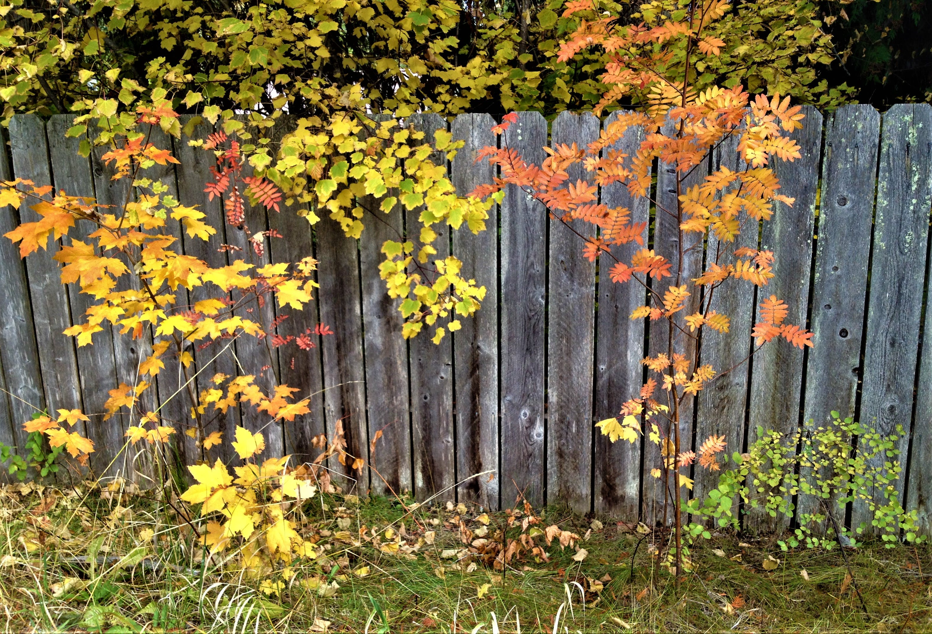 Free stock photo of autumn colors, color, fall colors, fence