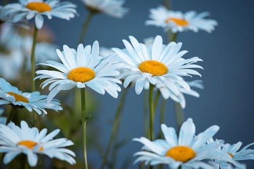 Bahçe, beyaz papatyalar, bitki örtüsü, bitkiler içeren Ücretsiz stok fotoğraf