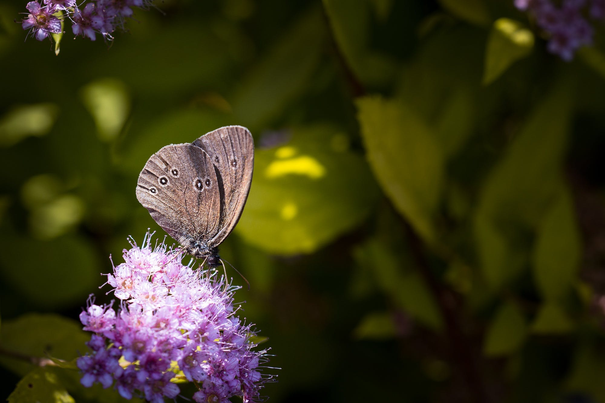 Grey Butterfly on Top of Purple Flower