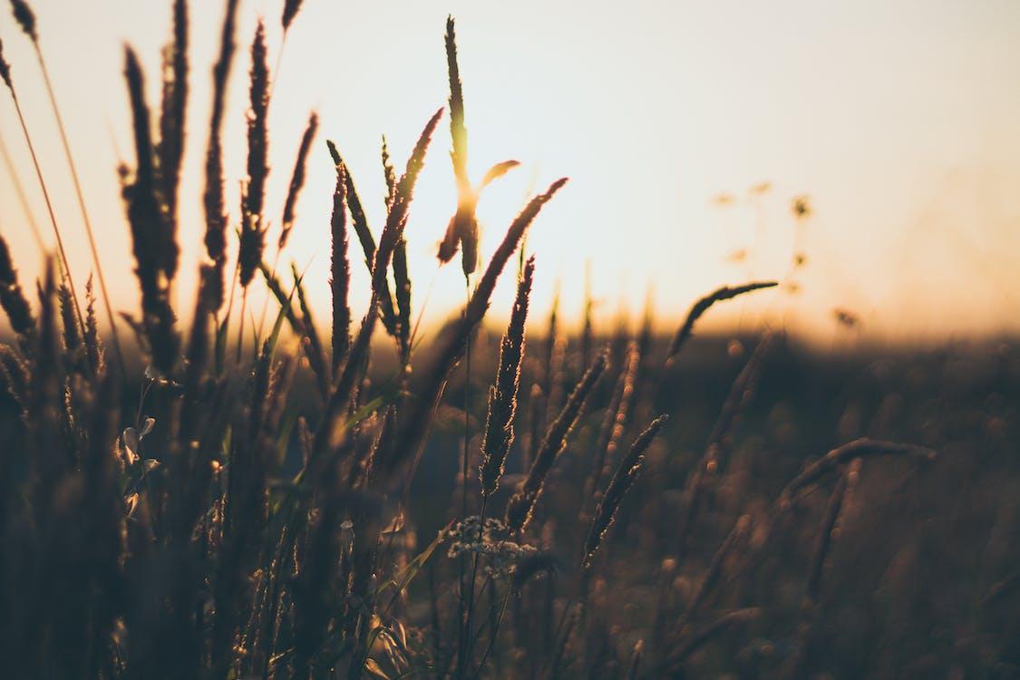 close-up, græs, gylden time