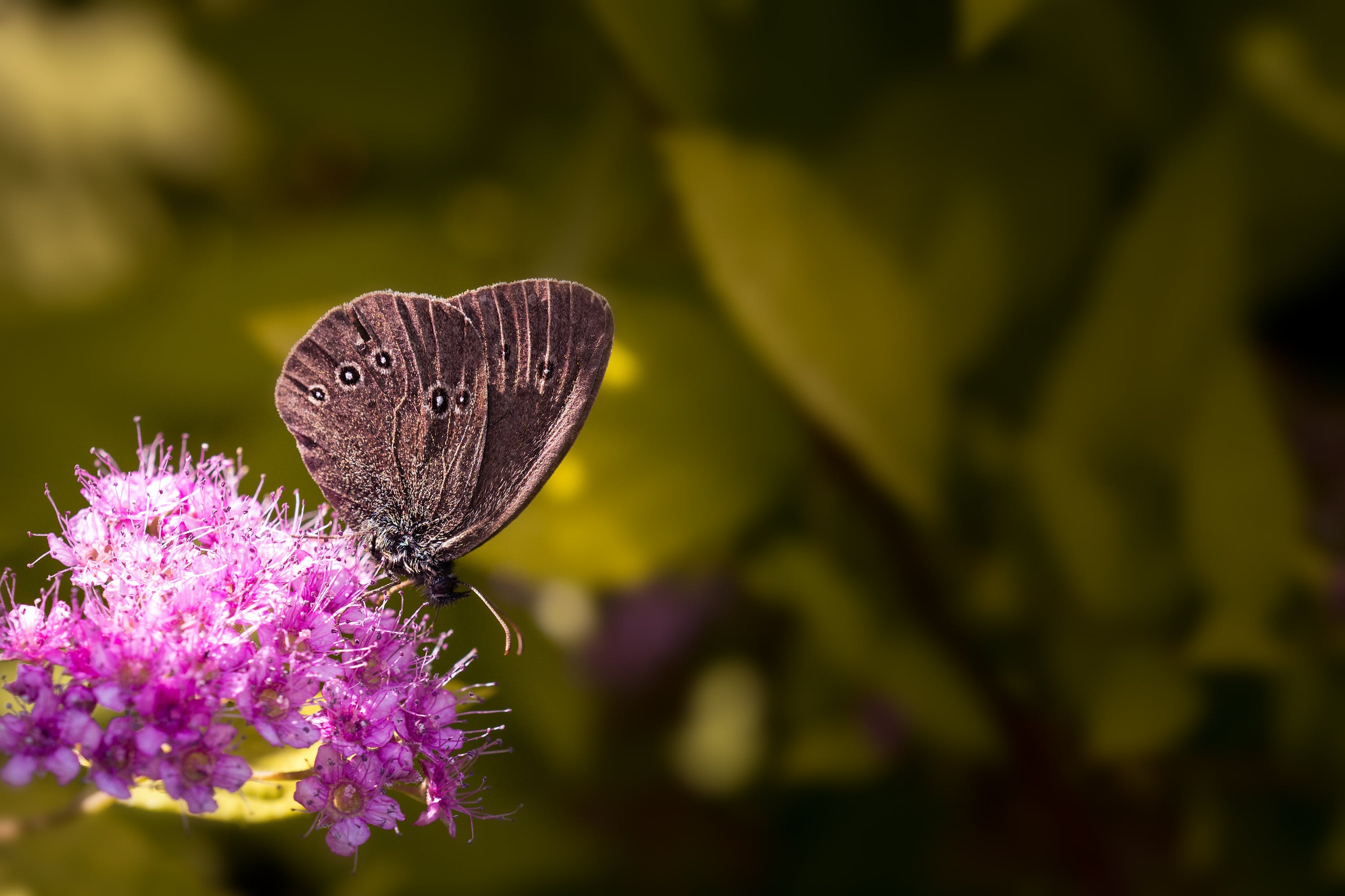 Free stock photo of aphantopus hyperantus, brown forest bird, butterfly, butterfly bush