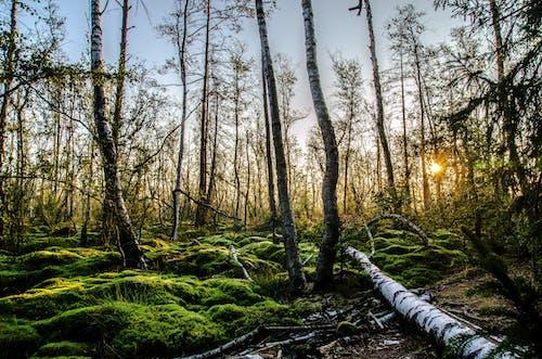 Бесплатное стоковое фото с деревья, живописный, лес, мох