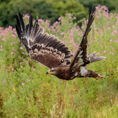 Brown White and Black Eagle Flying Nearby Pink Flower Field