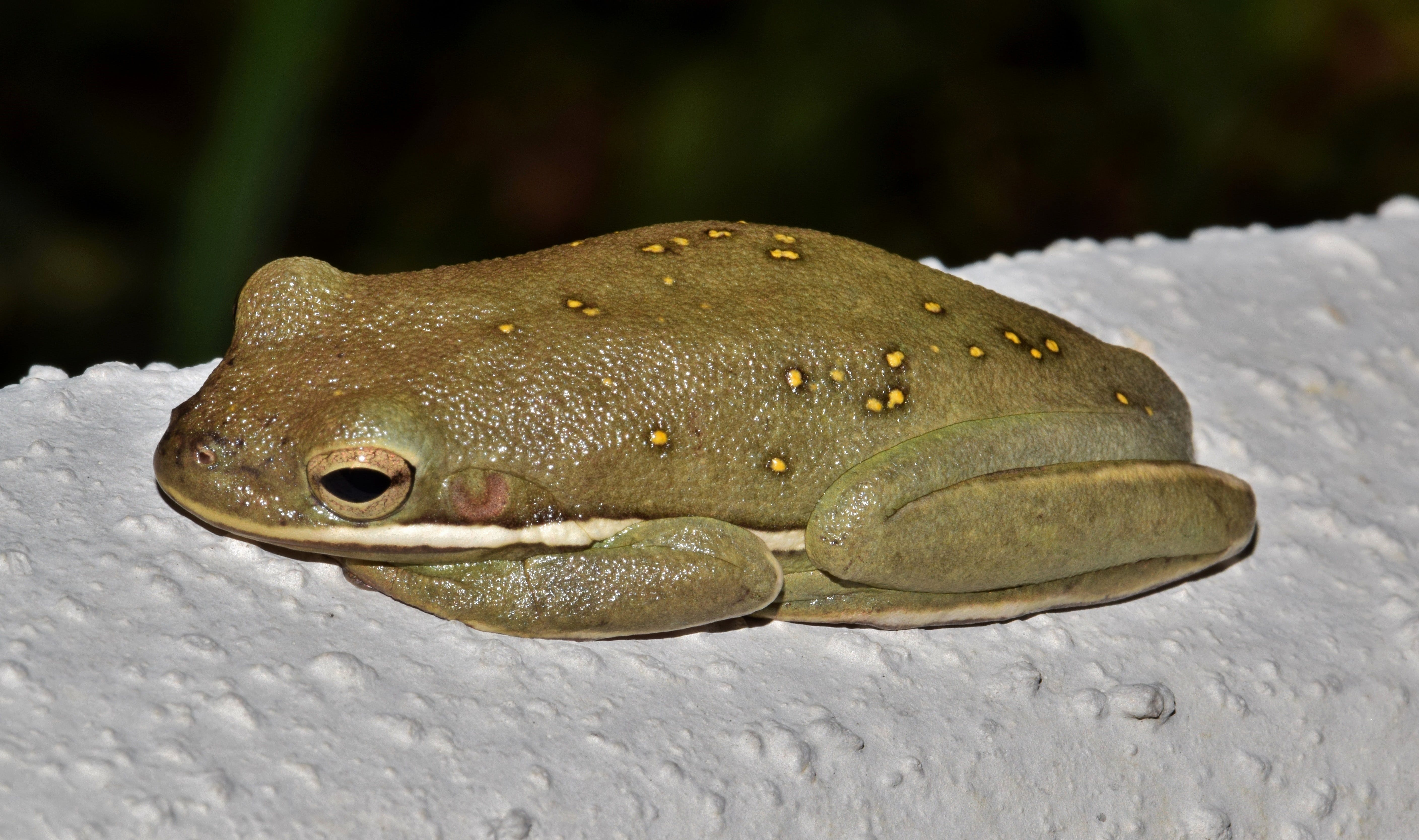 개구리, 끈적끈적한, 동물, 미국의 녹색 나무 개구리의 무료 스톡 사진