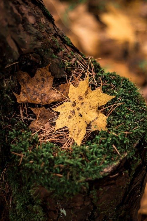 kuivat lehdet, lähikuva, puun kuori