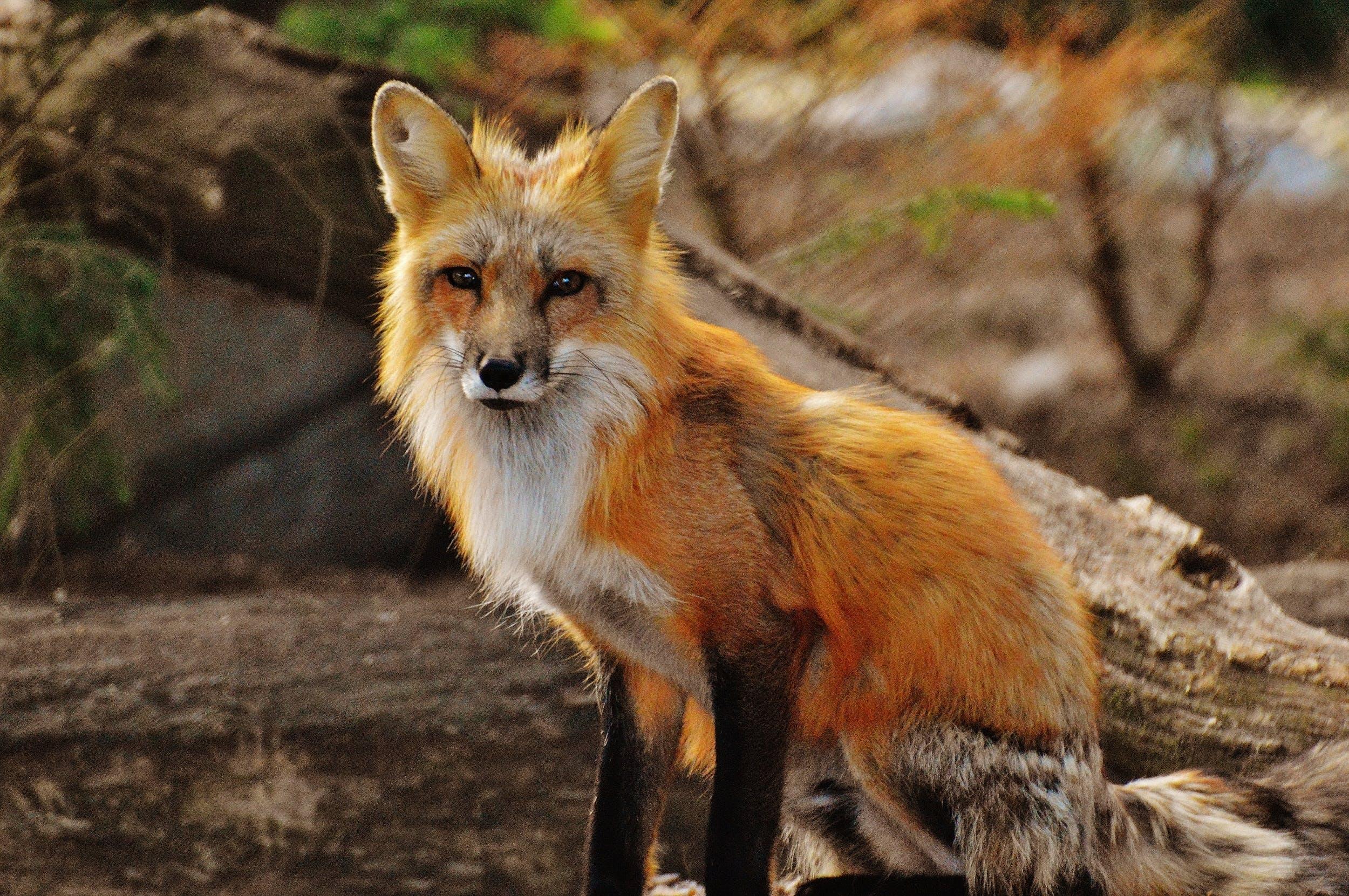 czerwony lis, drewno, dzika przyroda