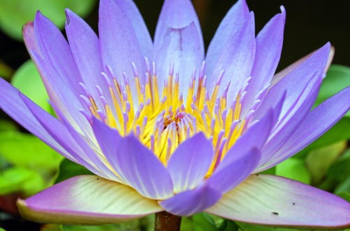 คลังภาพถ่ายฟรี ของ กำลังบาน, ดอกบัว, ดอกไม้, บัว