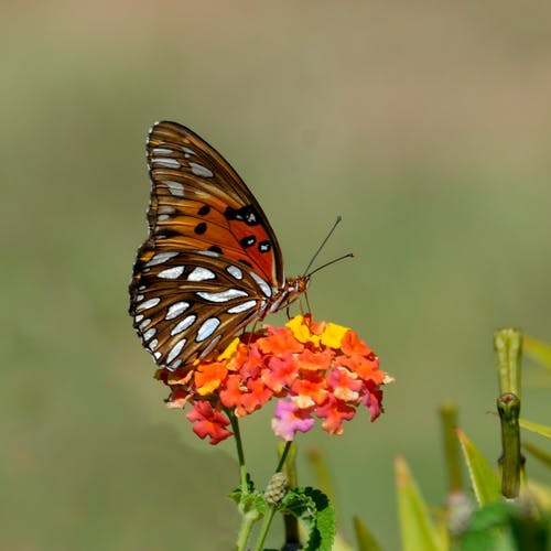 Black And Brown Butterfly On Top Of Orange Flower Free Stock Photo
