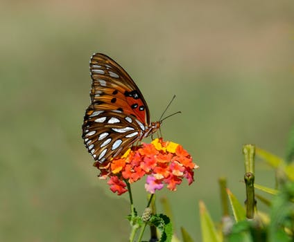 Black And Brown Butterfly On Top Of Orange Flower 183 Free