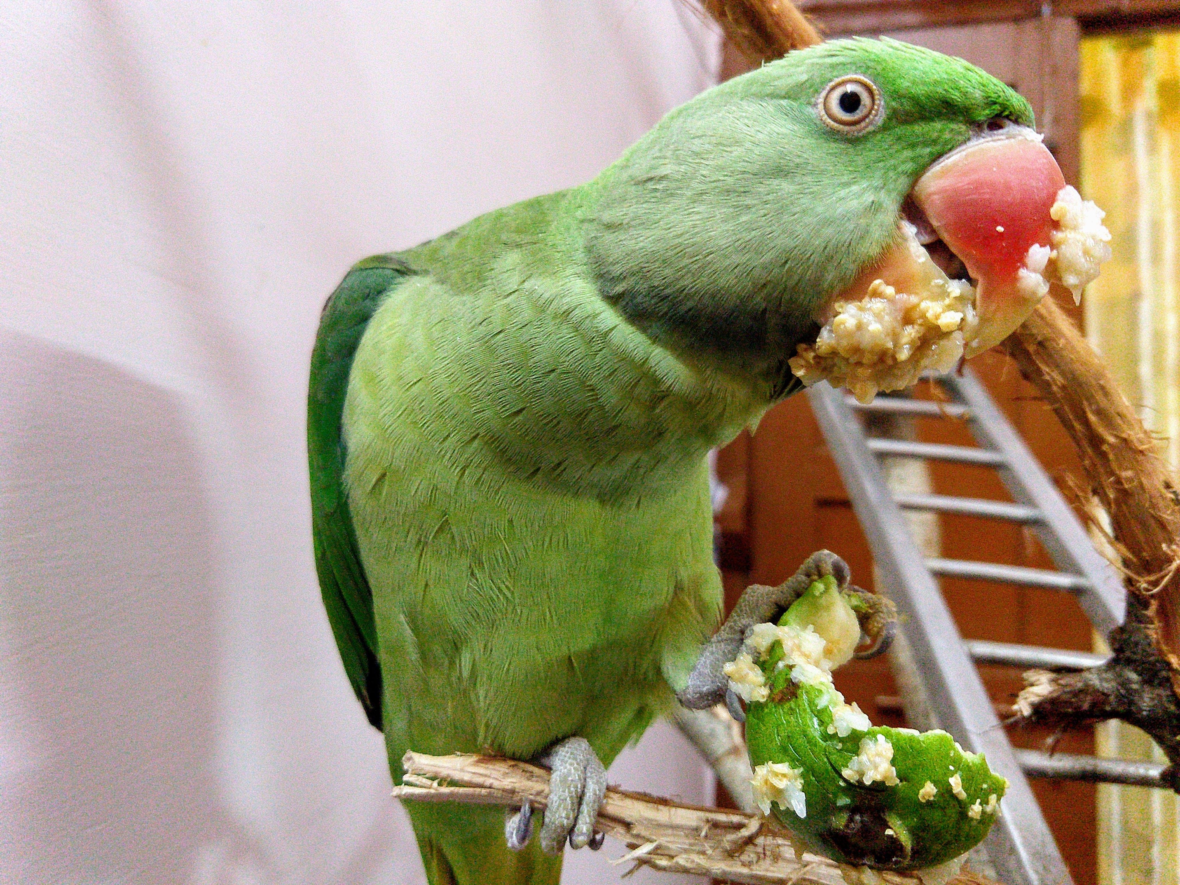 Gratis lagerfoto af papegøje, 👍