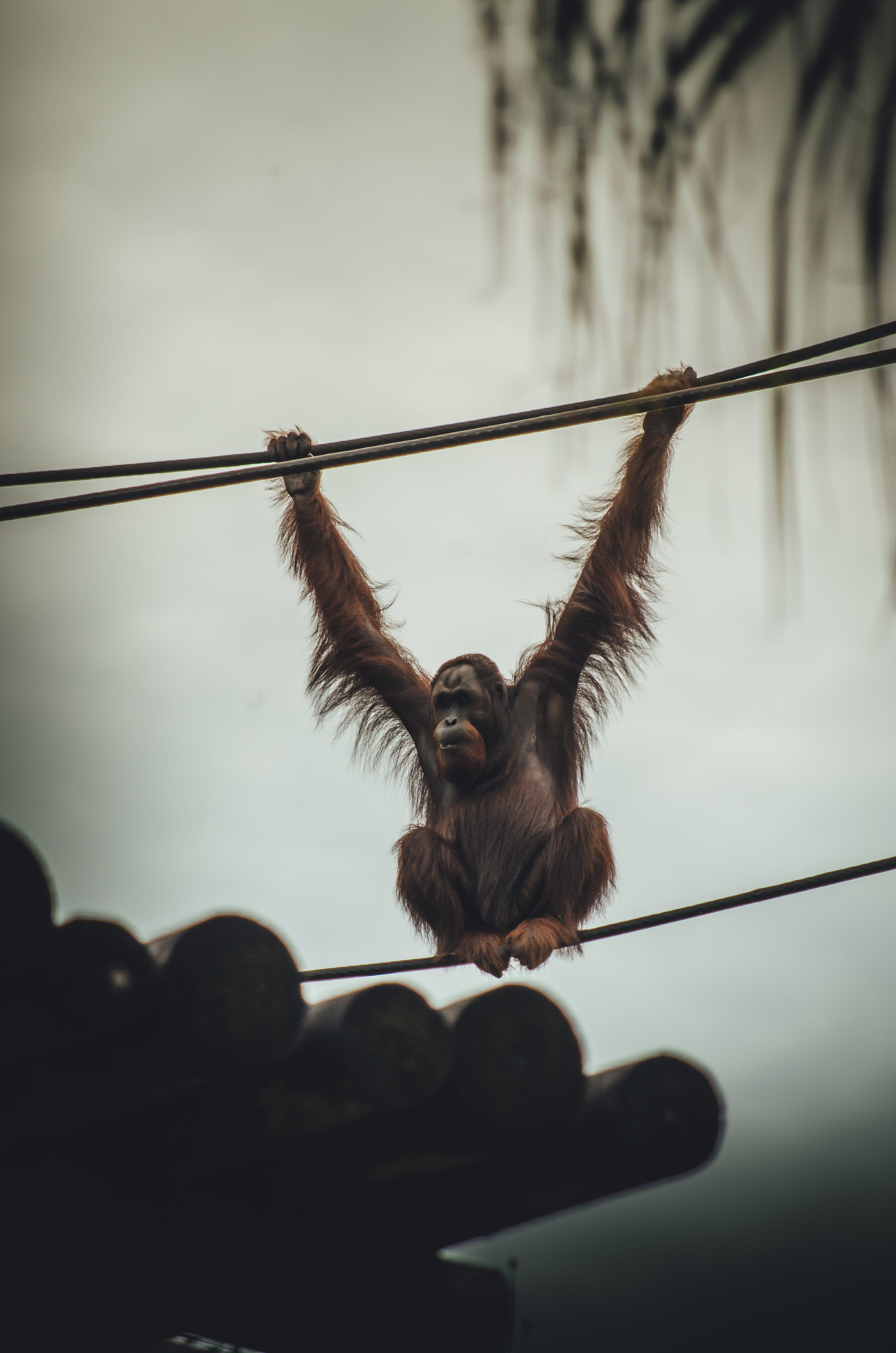 Ảnh lưu trữ miễn phí về buồn rầu, con khỉ, con vật, khí sắc